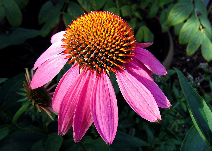 Echinacea purpurea by Helene U Taylor