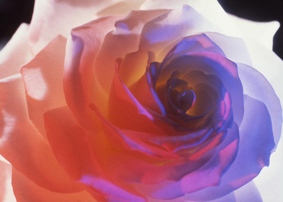 Botanical Photograph - Electric Rose  by Etti PALITZ