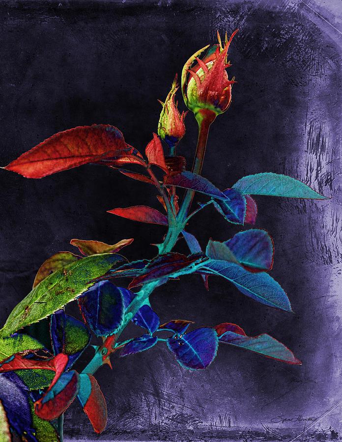 Rose Photograph - Elegance by Sylvia Thornton