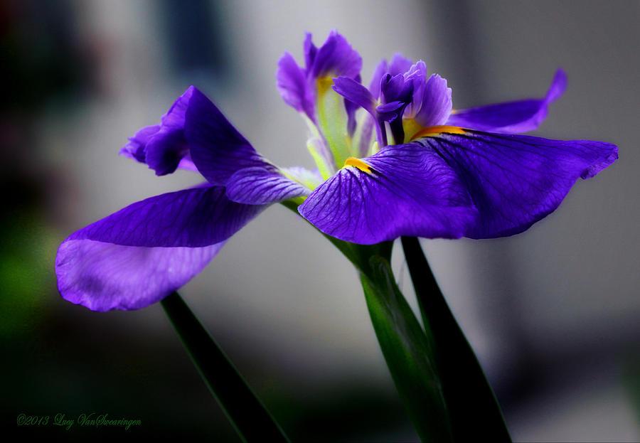 Iris Photograph - Elegant Iris by Lucy VanSwearingen