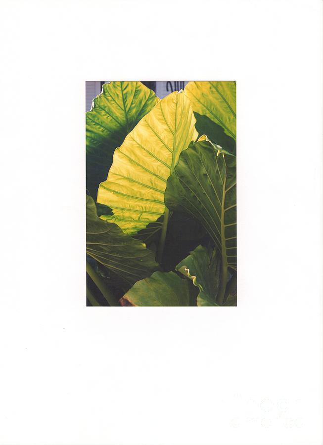 Nature Photograph - Elephant Ears by Bruce VanLoon