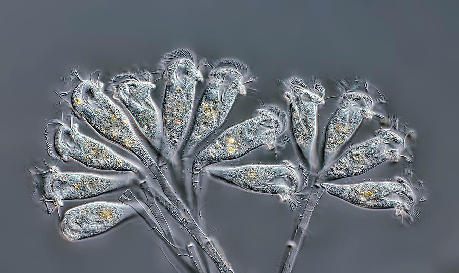 Animal Photograph - Epistylis Ciliates by Rogelio Moreno/science Photo Library