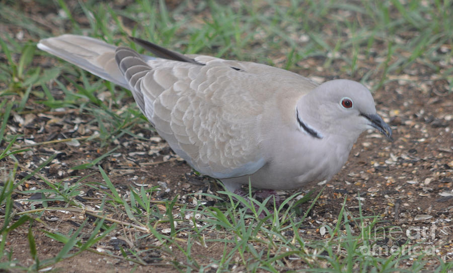 Eurasian Collared Dove  Photograph by Ruth  Housley