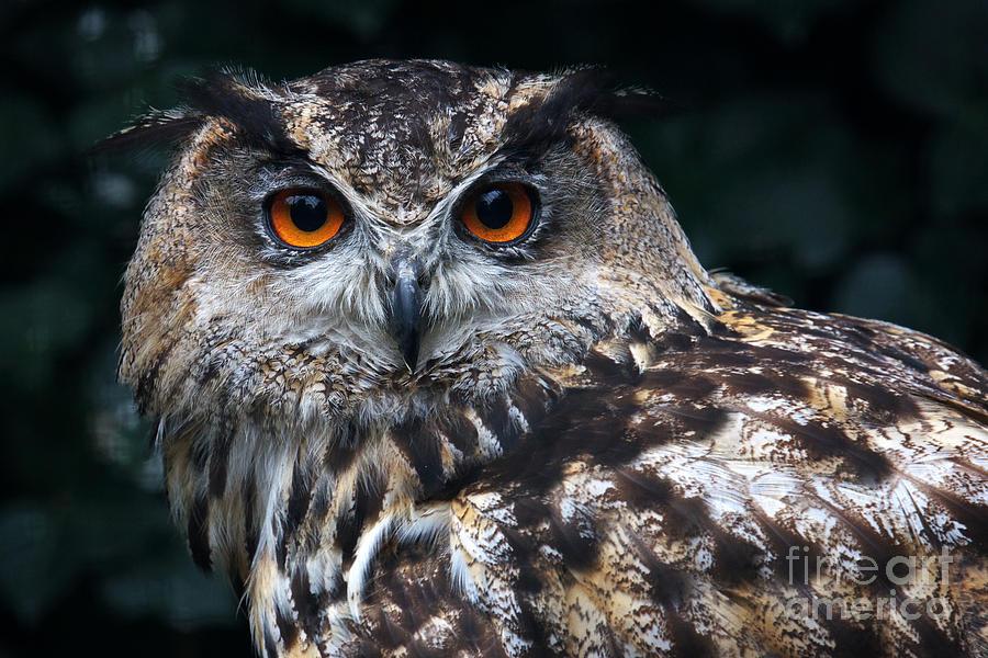 European Eagle Owl Photograph