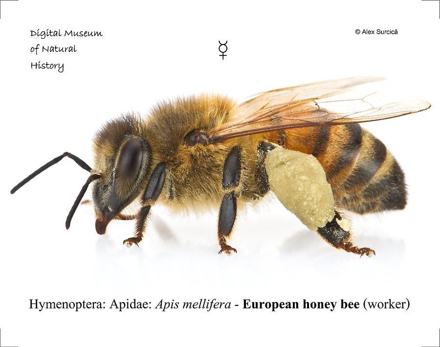 Girl honey bee rule xxx