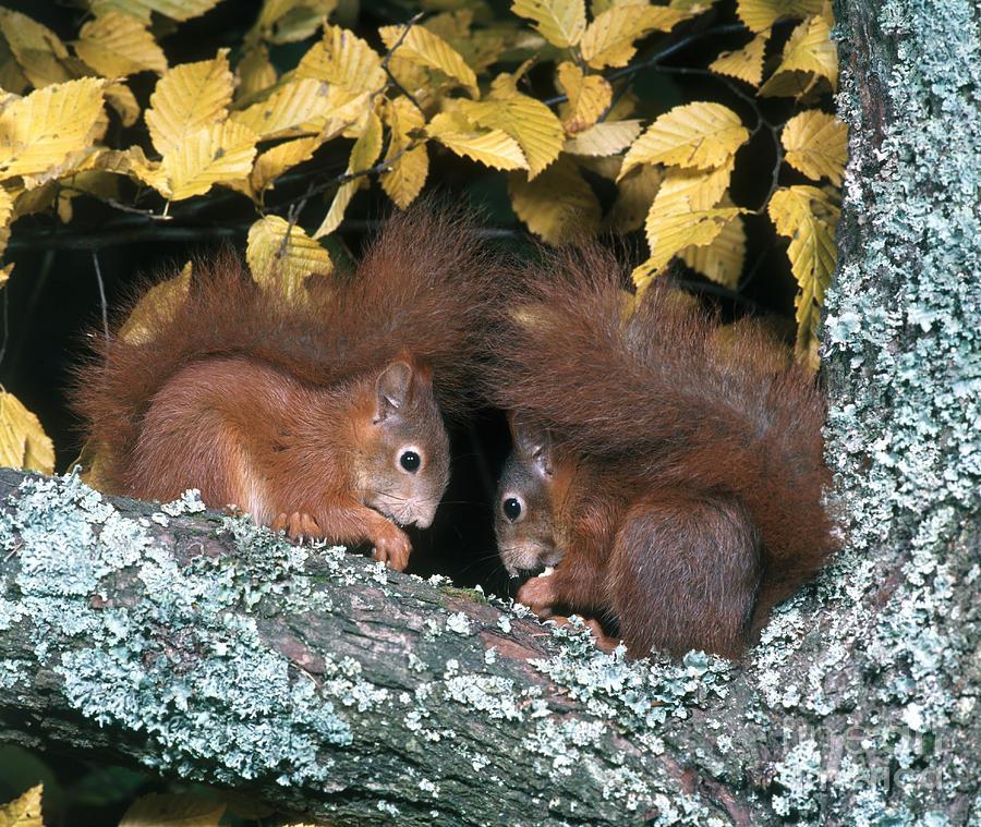 Fauna Photograph - European Red Squirrels by Hans Reinhard