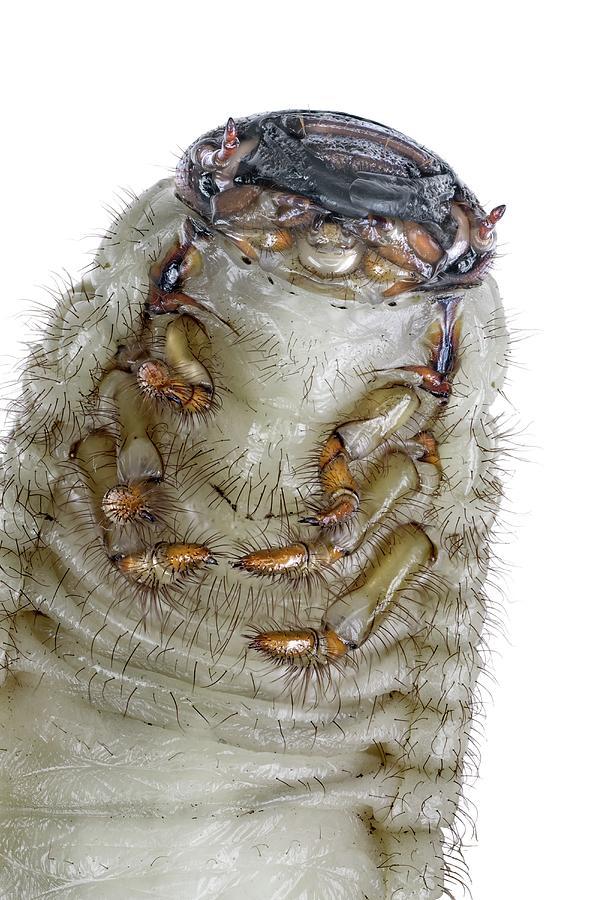 European Rhinoceros Beetle Larva Photograph By F Martinez Clavel