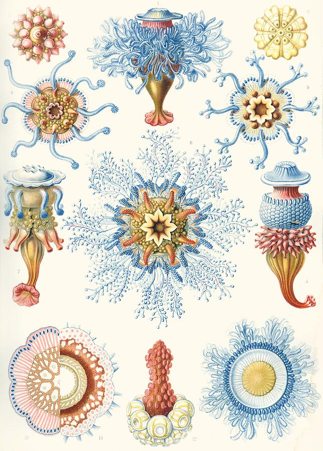 Vertical Drawing - Examples Of Siphonophorae by Ernst Haeckel