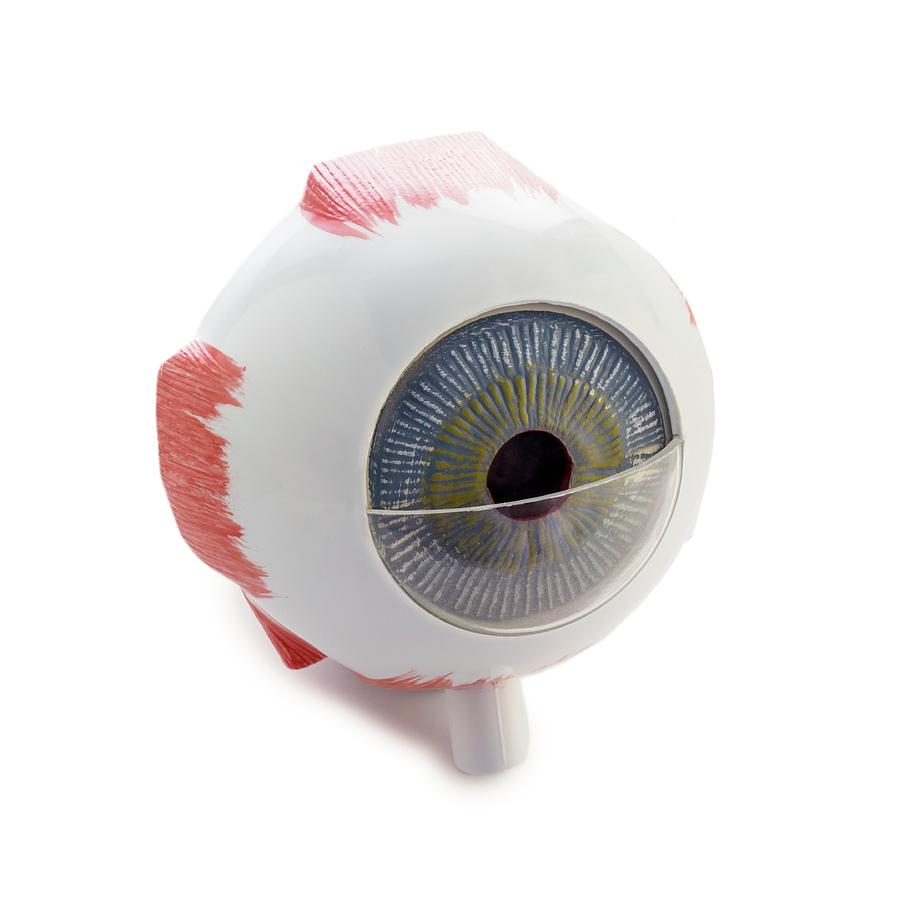 Eye Anatomy Model Photograph by Science Photo Library