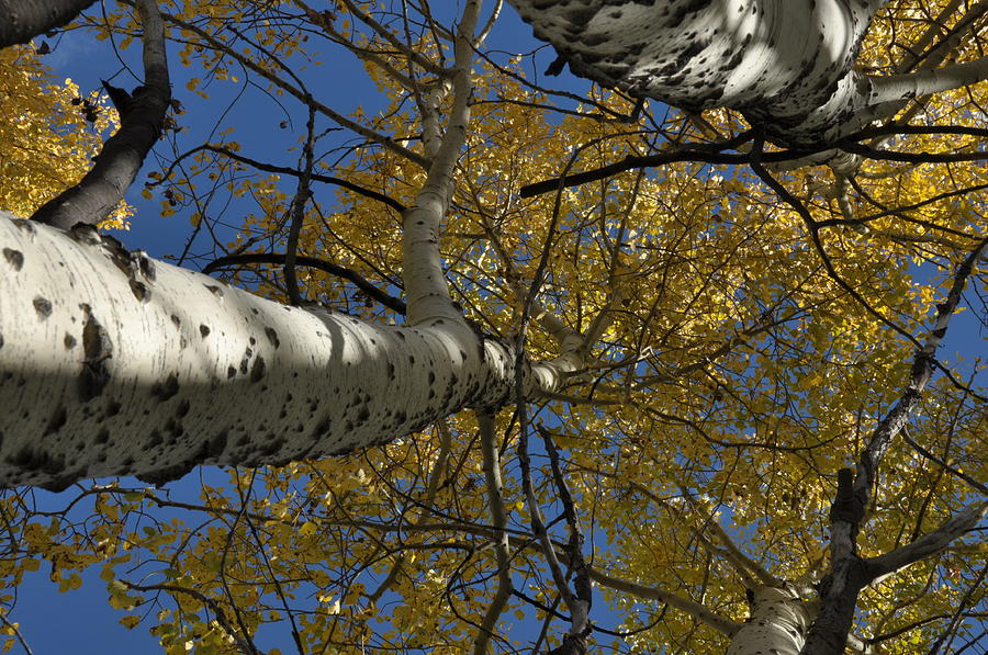 Gold Photograph - Fall Aspen by Frank Madia