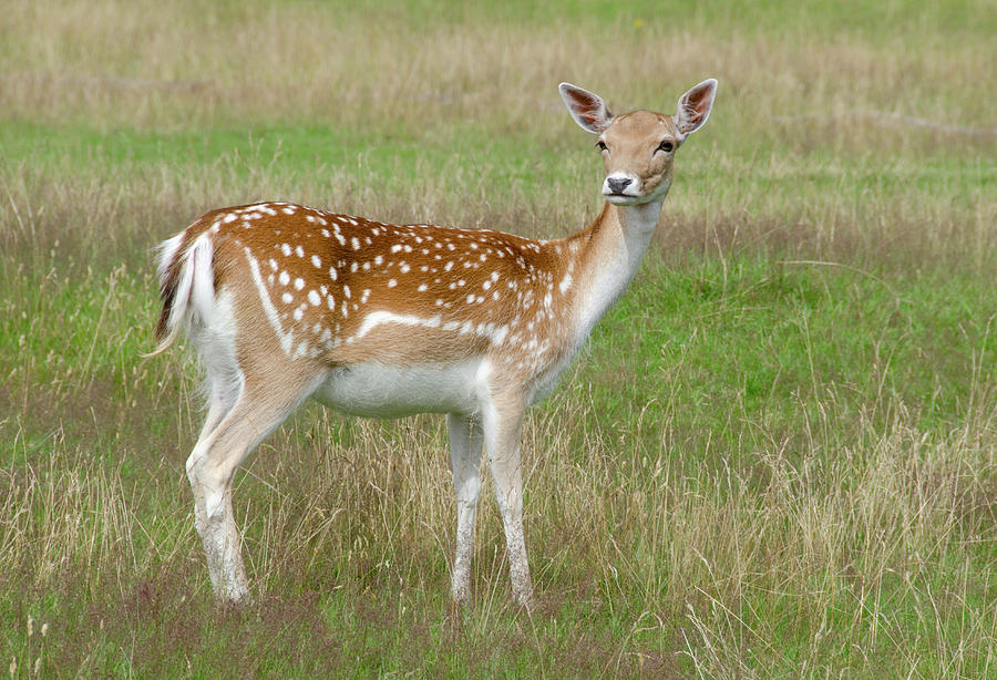 Fallow Deer Doe Photograph by Nigel Downer