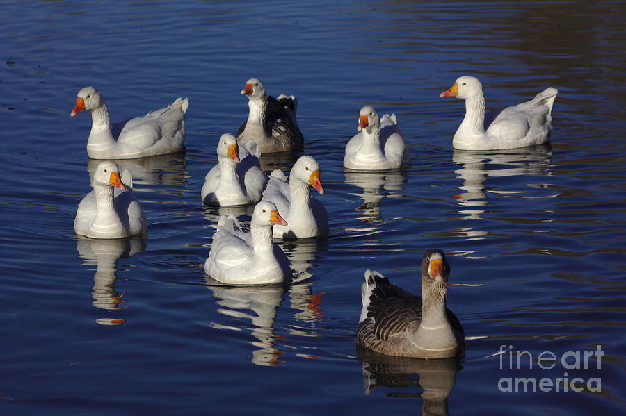 Family Goose Photograph