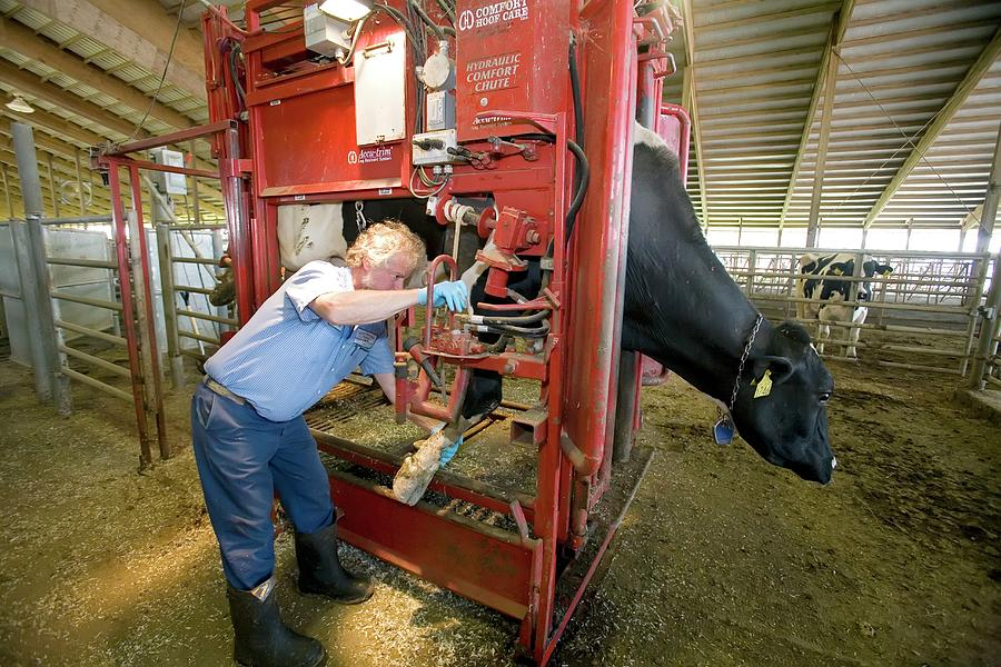 Animal Photograph - Farmer Checking A Cows Hoof by Jim West
