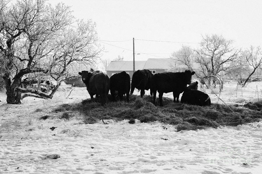 Feed Photograph - feed and fresh grass laid out for cows on winter farmland Forget Saskatchewan Canada by Joe Fox