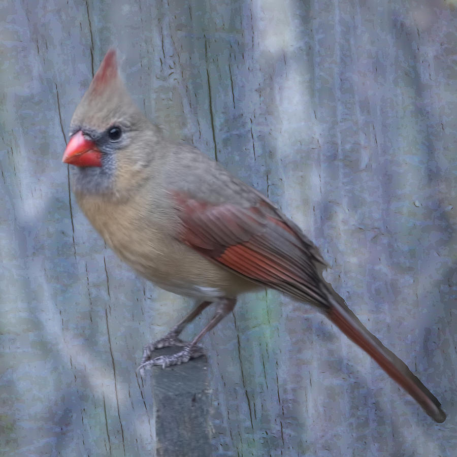 Cardinal Photograph - Female Cardinal by John Kunze
