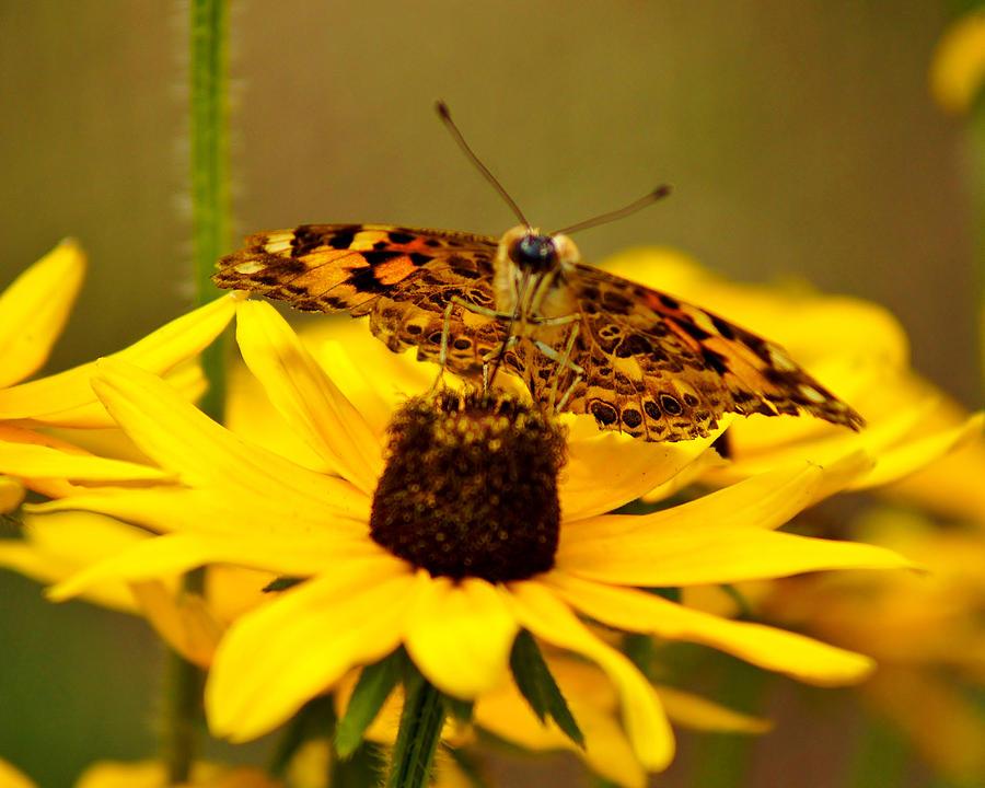 Butterfly Photograph - Female Gulf Fritillary  by Carol Toepke