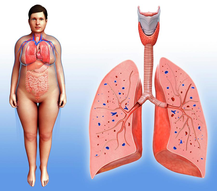 Female Lung Anatomy Photograph By Pixologicstudioscience Photo Library