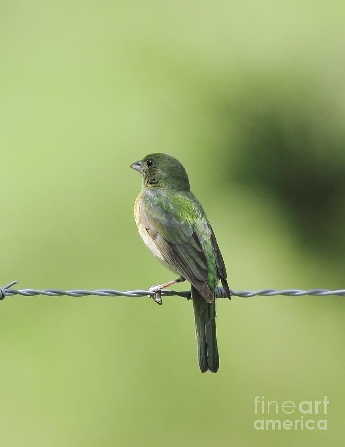 Animal Photograph - Female Painted Bunting by Robert Frederick