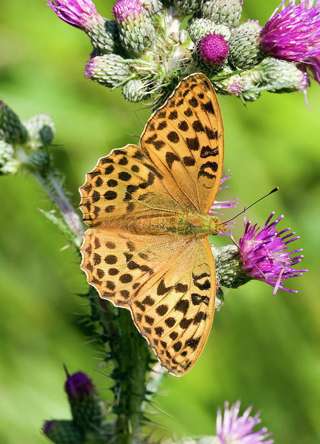 Animal Photograph - Female Silver-washed Fritillary by John Devries/science Photo Library