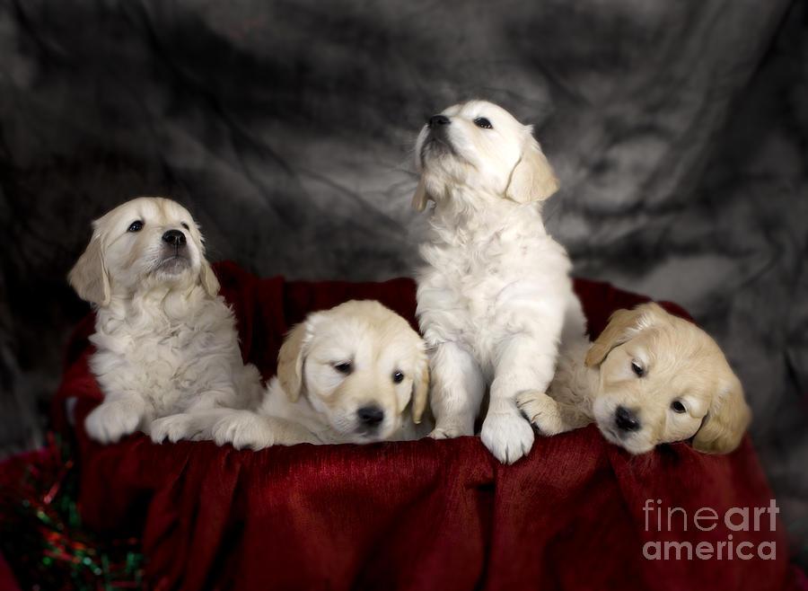 Dog Photograph - Festive Puppies by Angel  Tarantella