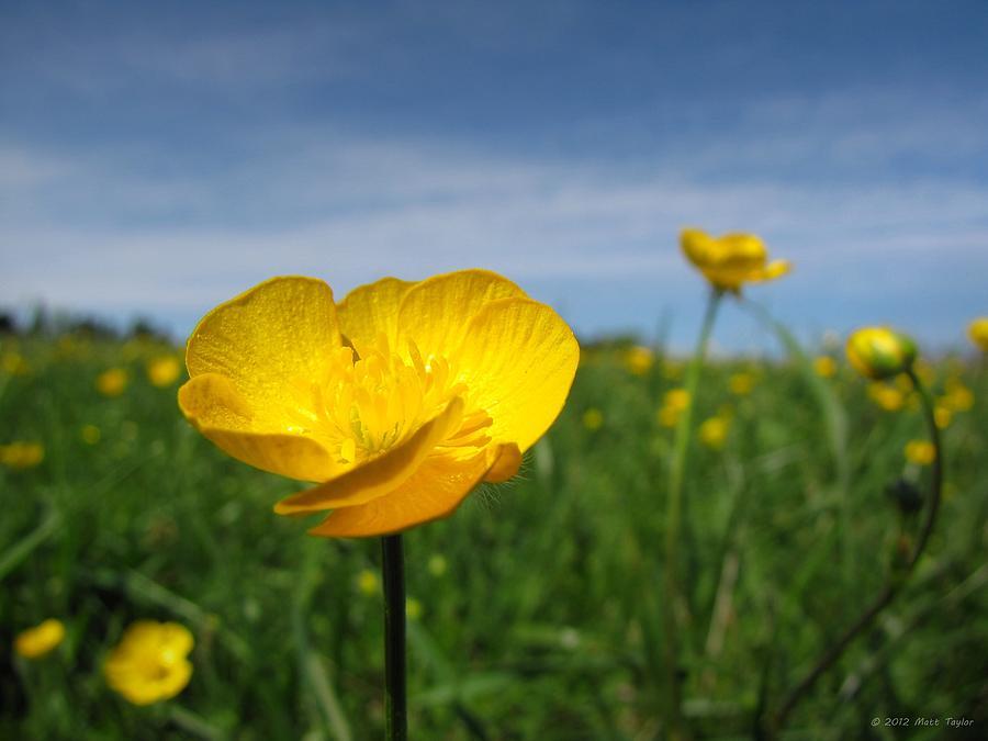 Nature Photograph - Field Of Buttercups by Matt Taylor