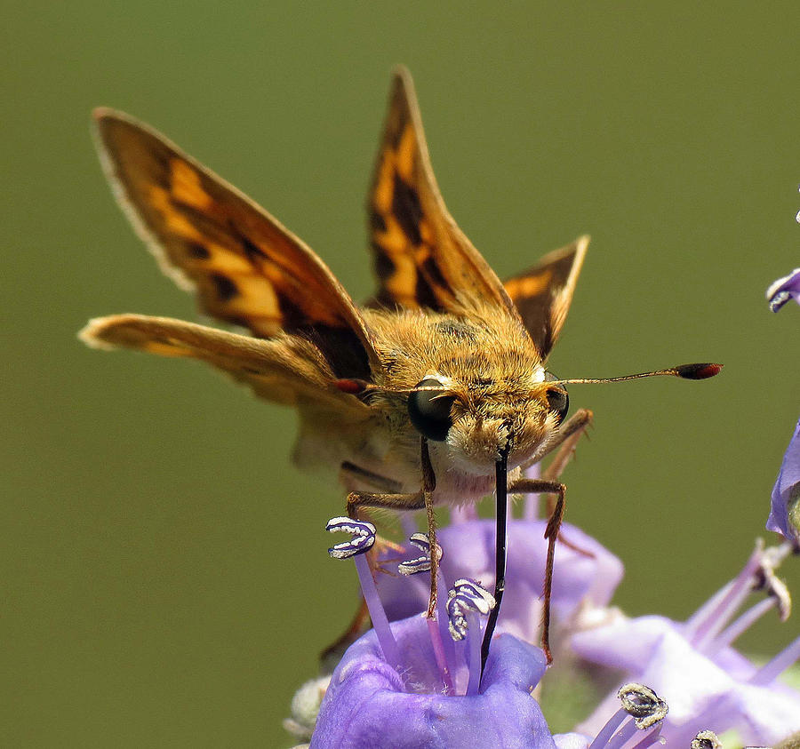 Butterfly Photograph - Fiery Skipper Butterfly by Walter Klockers