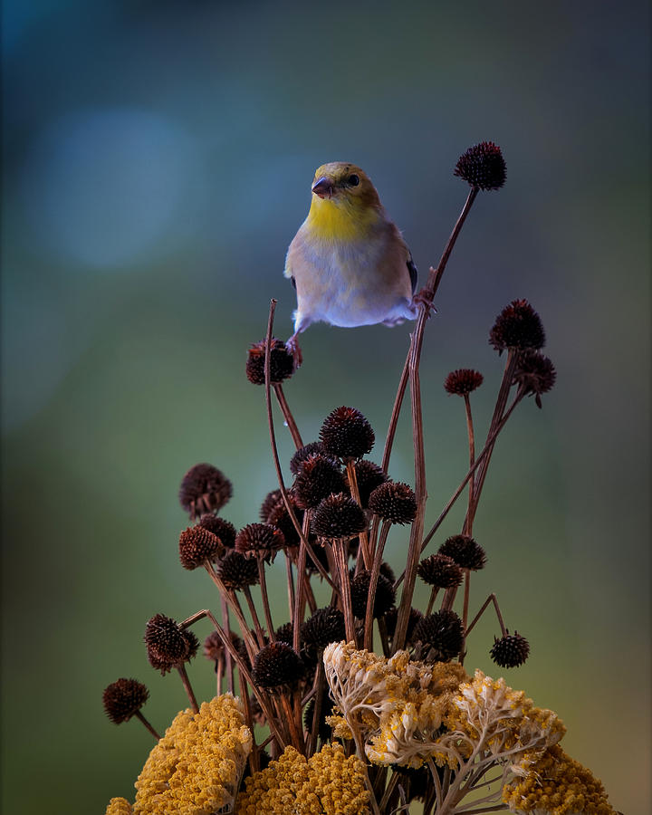Finch Photograph by Bruce Brooks