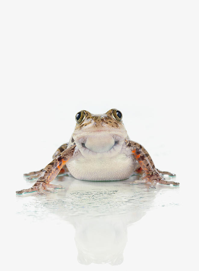 Brown Photograph - Fire-leg Walking Frog On White by Corey Hochachka