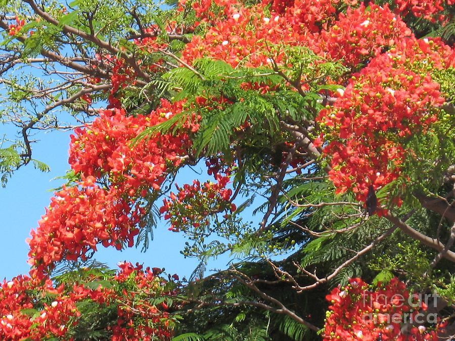 Flamboyants - Ile De La Reunion - Reunion Island Photograph by Francoise Leandre