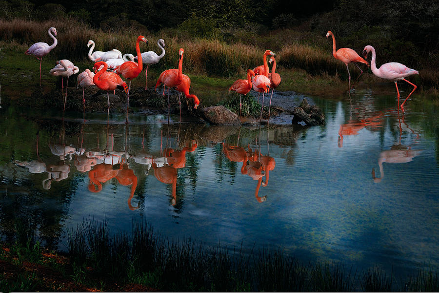 Pink Flamingo Photograph - Flamingo Convention by Melinda Hughes-Berland