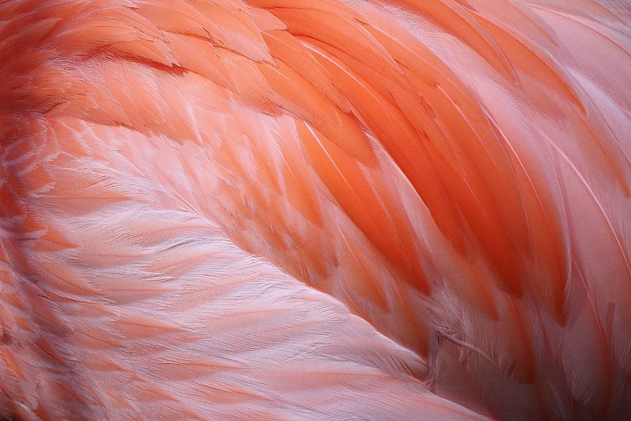 Bird Photograph - Flamingo Feathers by Paulette Thomas