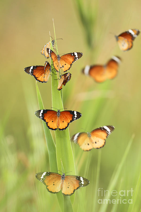 African Monarch Photograph - Flock Of Plain Tiger Danaus Chrysippus by Alon Meir