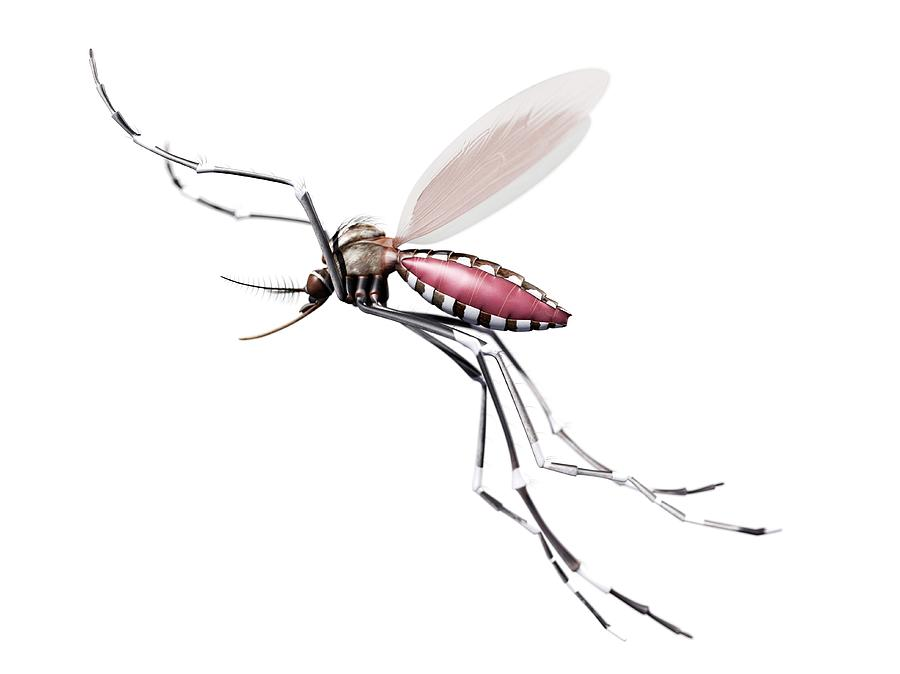 Artwork Photograph - Flying Mosquito by Sciepro/science Photo Library