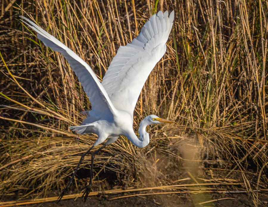 Flying White Egret Photograph by Gregory Daley  MPSA