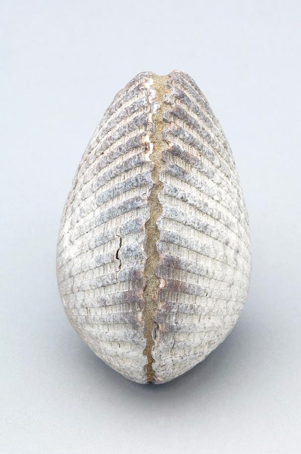Fossil Clam by Kaj R  Svensson/science Photo Library