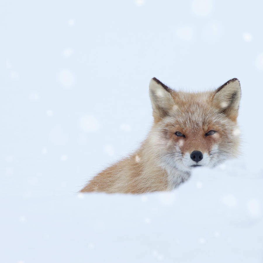 Fox In Snow Field Photograph by Ichiro