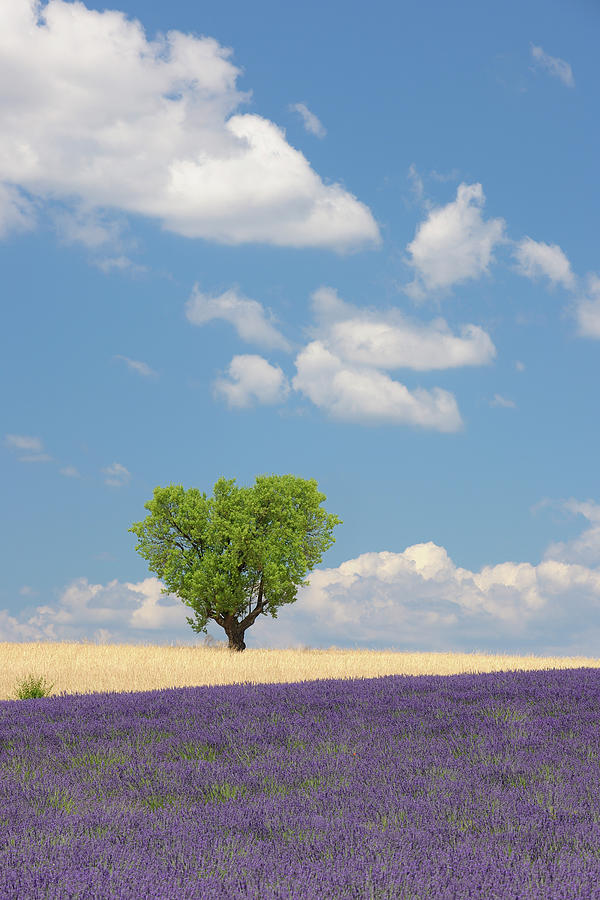 France, View Of Lavender Field With Tree Photograph by Westend61