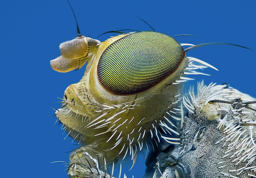 Animal Photograph - Fruit Fly Head by Nicolas Reusens