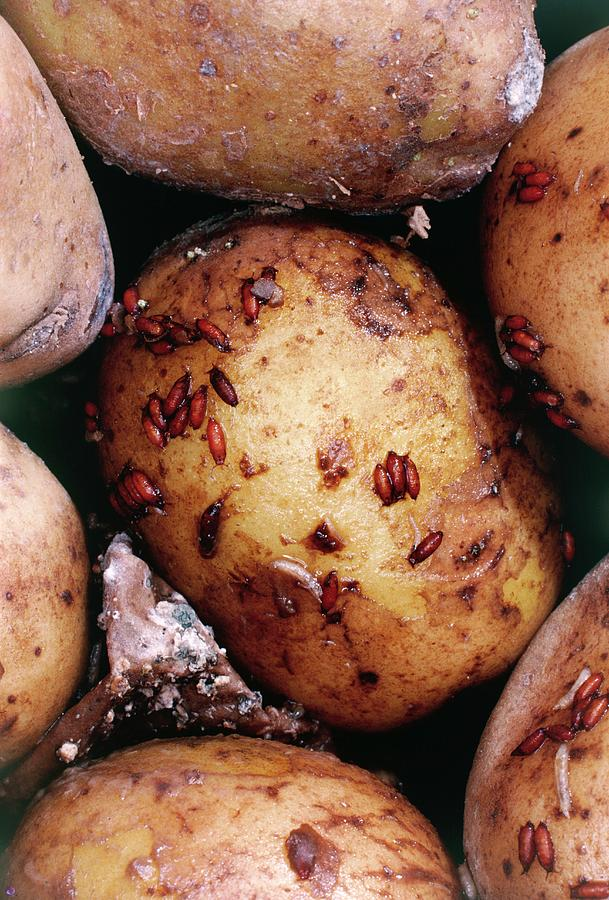 Fruit Fly Larvae Infesting A Potato by Dr Jeremy Burgess/science Photo  Library