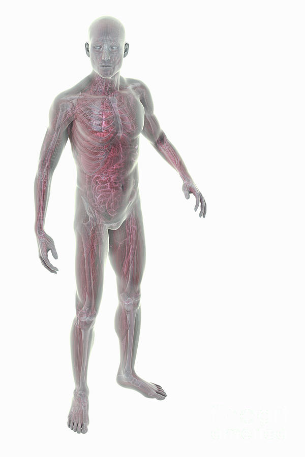 Full Body Anatomy Photograph By Science Picture Co
