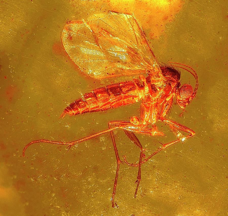 Biology Photograph - Fungus Gnat In Amber by Alfred Pasieka/science Photo Library