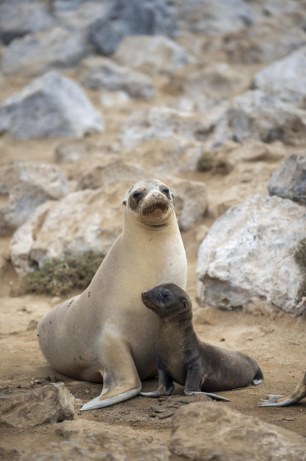 Tui De Roy Photograph - Galapagos Sea Lion And Pup Champion by Tui De Roy