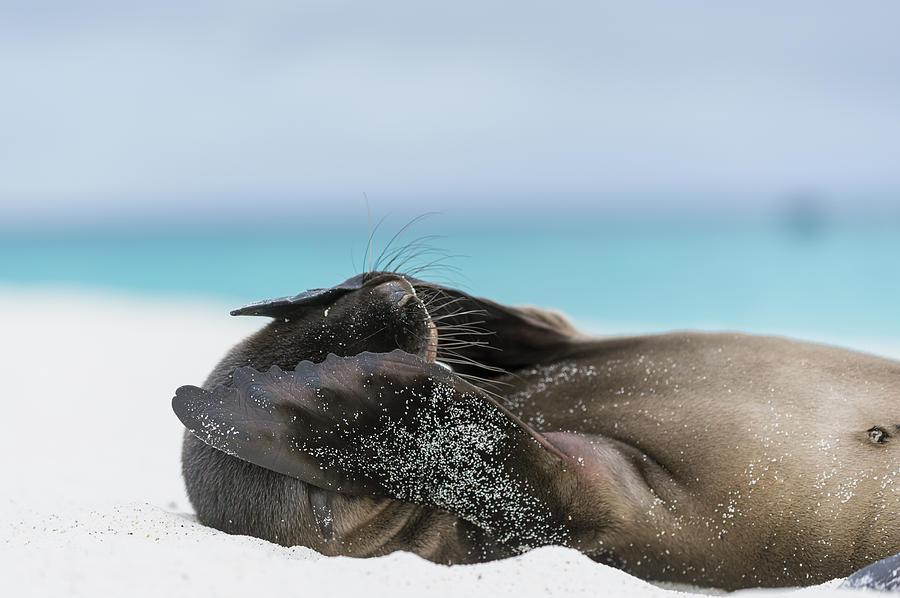 Tui De Roy Photograph - Galapagos Sea Lion Pup Covering Face by Tui De Roy