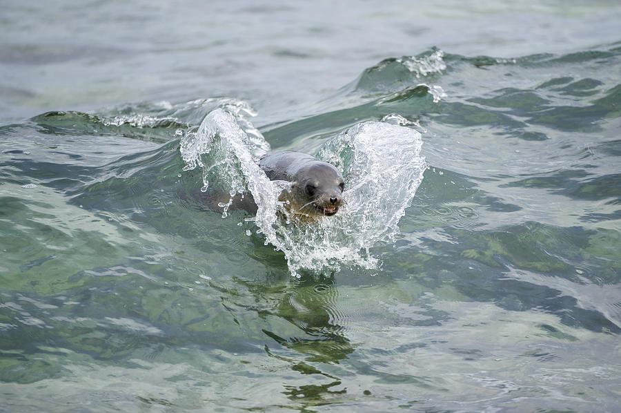Galapagos Sea Lion Surfing Mosquera Photograph by Tui De Roy