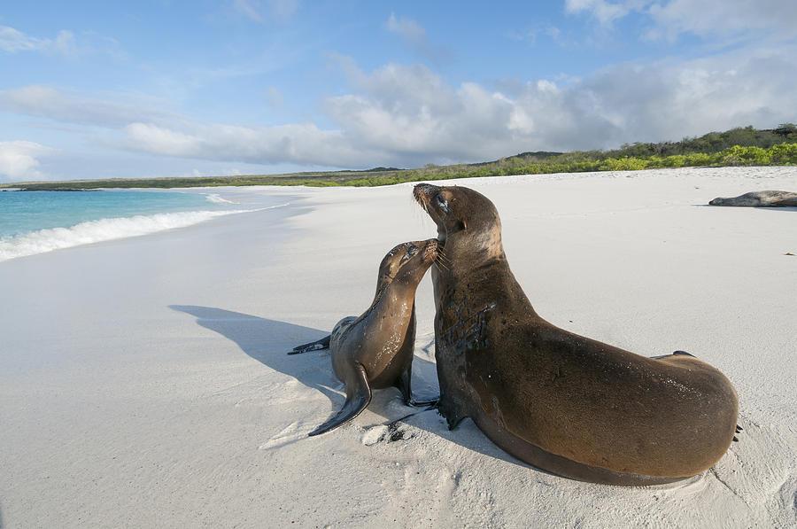 Galapagos Sealions On Beach Galapagos Photograph by Tui De Roy