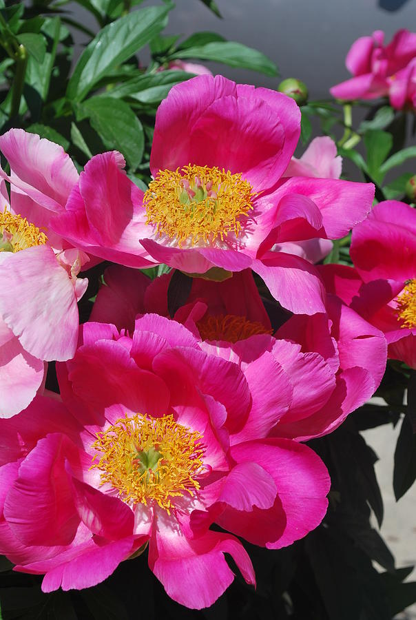 Pink Peony Photograph - Garden Party by Billie Colson