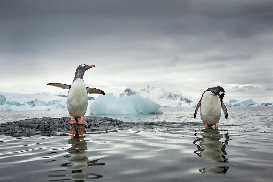 Gentoo Penguins, Cuverville Island Photograph by Paul Souders