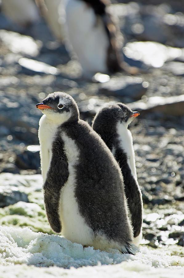 Gentoo Penguins Pygoscelis Papua Photograph by Jim Julien / Design Pics