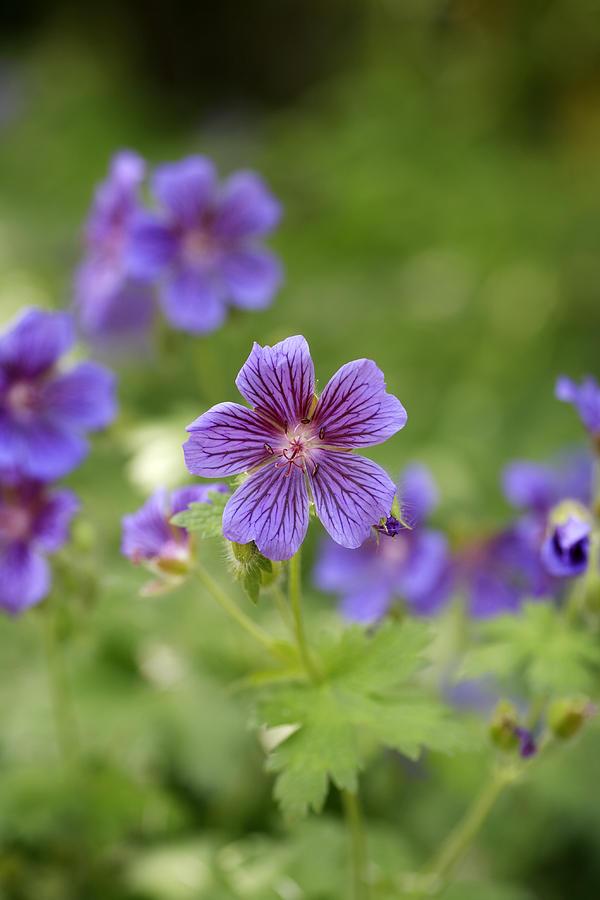 Geranium Himalayense Photograph - Geranium Himalayense by Frank Tschakert