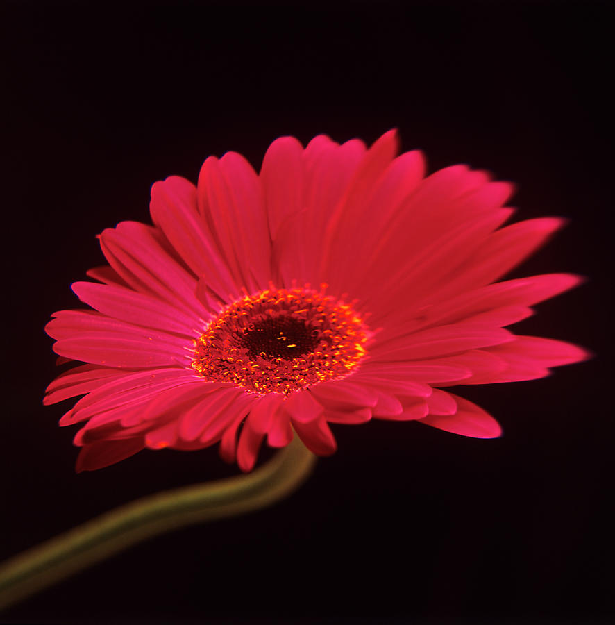 Plant Photograph - Gerbera Flower by Mark Thomas/science Photo Library